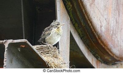 Nestling thrush Fieldfare sitting on a nest - Fieldfare...