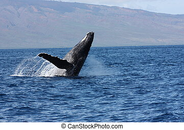 Full breach Humpback whale