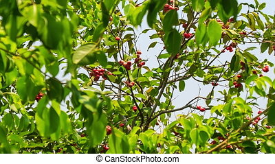 Wind Shakes Branches of Cashew Tree - wind shakes branches...