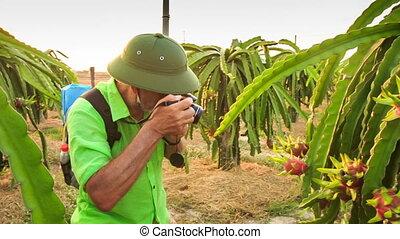 Closeup Tourist Photos Dragon Fruit on Tree Branch at Sunset...