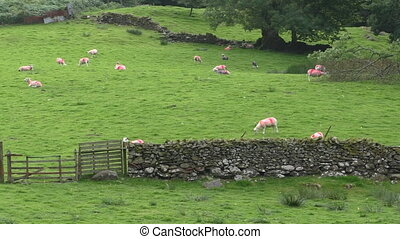 Red marked sheep - Sheep with red colour marks relaxing on...