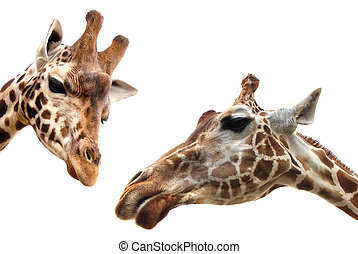 Two Giraffes over white - Giraffes closeup portrait isolated...