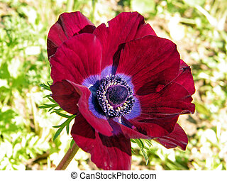 Ramat Gan Park Red Crown Anemone February 2011 - Red Crown...