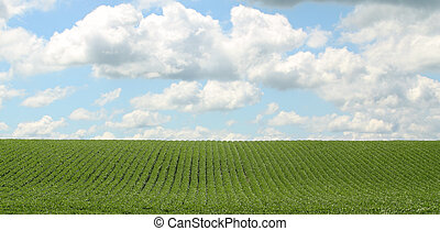 Soybean Field - Rows of green soybeans against a blue sky...