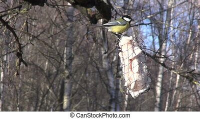 Great tit on birdfeeder - Great tit pecking lard on hanging...