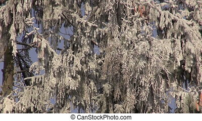 Hoarfrost covered fir trees on sunny winter day against...