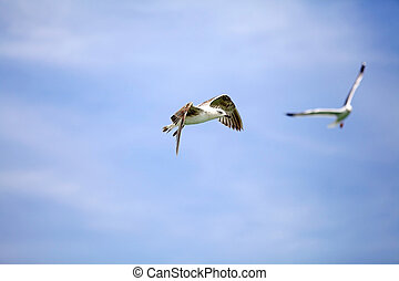 Yellow-legged gull (Laris michahellis), juvenile, is flying...
