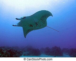 Manta Ray above - Manta Ray swimming by above us