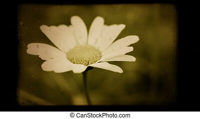 A chamomile sway in the wind (close-up), vintage background.