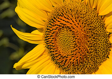 beautiful warm sunflower close (against the background of...