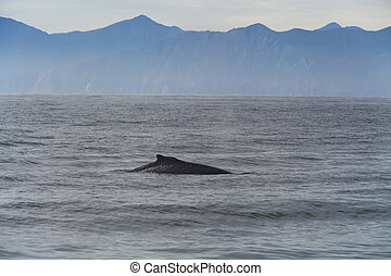 Humpback whale in the Pacific Ocean. At the coast of the...