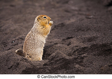 Funny squirrel on volcanic soil. Kamchatka Peninsula.