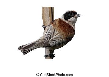 Penduline tit, Remiz pendulinus, single bird on reed,...