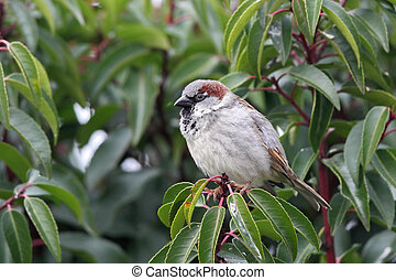 House Sparrow (Passer domesticus) sitting in a bush in the...