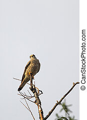 Common Kestrel (Falco tinnunculus) - Female Common Kestrel...