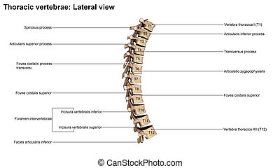 Thoracic Vertebrae Lateral view - The T6 vertebra lies in...