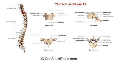 Thoracic vertebrae T1 - The T6 vertebra lies in the middle...