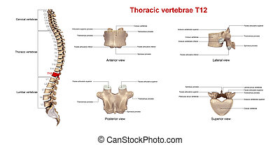 Thoracic vertebrae T12 - The T6 vertebra lies in the middle...