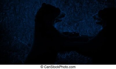 Bears Fighting In Grass At Night - Couple of bears wrestling...