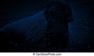 Bison Resting At Night - Large bison lying in the grass at...