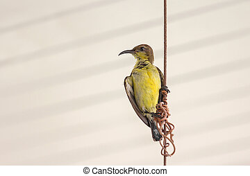 Female olive-backed sunbird, known a yellow-bellied,...