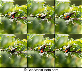 Collage set of Scarlet backed Flowerpecker bird on tree...