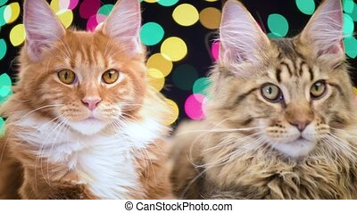 Cat with Christmas garland - Funny Maine coon cats move head...