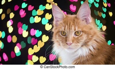 Cat with Christmas garland - Portrait of red Maine Coon...