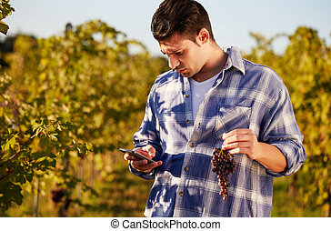 Winemaker in vineyard picking blue grapes and talking to...