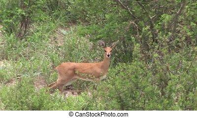 Wild Antelope in African Botswana s - Botswana wild Africa...