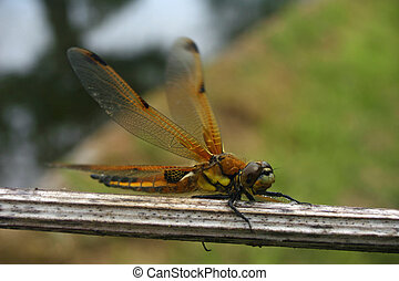 Four-spotted chaser dragonfly - Freshly emerged four-spotted...