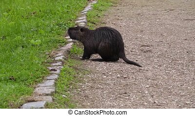 Wild nutria,water rat on the path