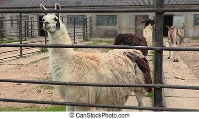 Llamas in paddock