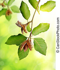 Beech branch with beechnuts on green natural background