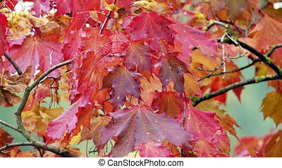 Autumn red maple leaves - Close up background of Autumn red...