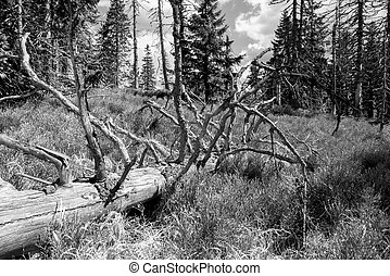 Dead tree in forest - black and white picture