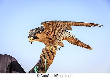 Peregrine Falcon - Portrait of Peregrine Falcon on a...