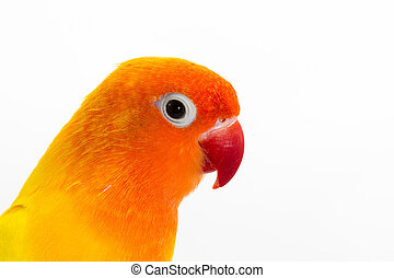 Double Yellow Lovebird on white background
