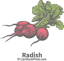 Vector hand-drawn ripe red radish with green tops