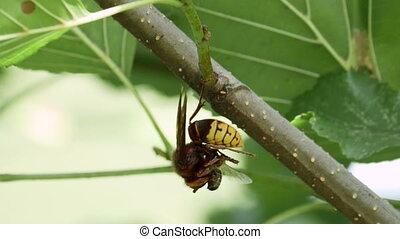 European Hornet (Vespa crabro) predating a Western or...