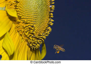 mel, abelha, encontra, girassol