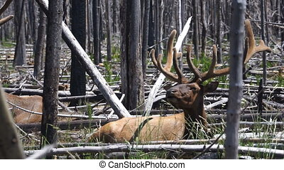 Large Bull Elk Western Animal Wildlife Yellowstone National...