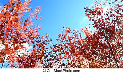 red leaves of aspens in the autumn forest
