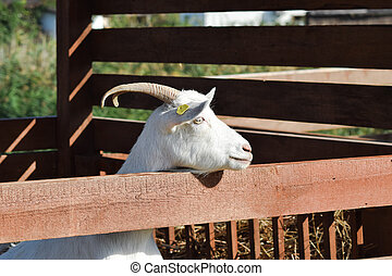 Horned goat over the fence. Fencing for goats.