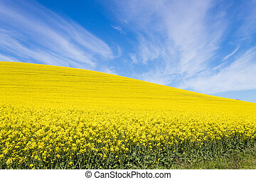 Rapeseed fields along the road to Franschhoek, South Africa...