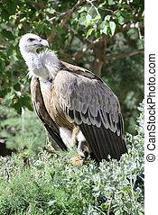 Griffon vulture, Gyps fulvus, single bird in a tree