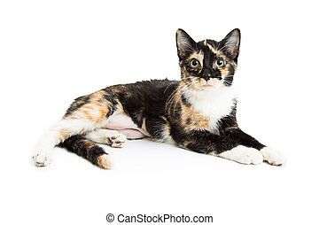 Calico Kitten Lying Over White - Cute and pretty calico...
