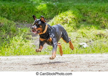 Rottweiler Dog Jumping High - Funny Young Rottweiler Dog...