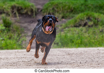 Rottweiler Dog Running In The Rain - Funny Young Rottweiler...