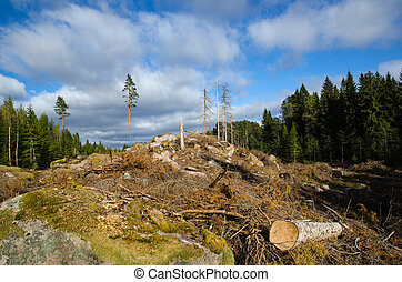 Newly clear cut forest area in a swedish spruce tree forest